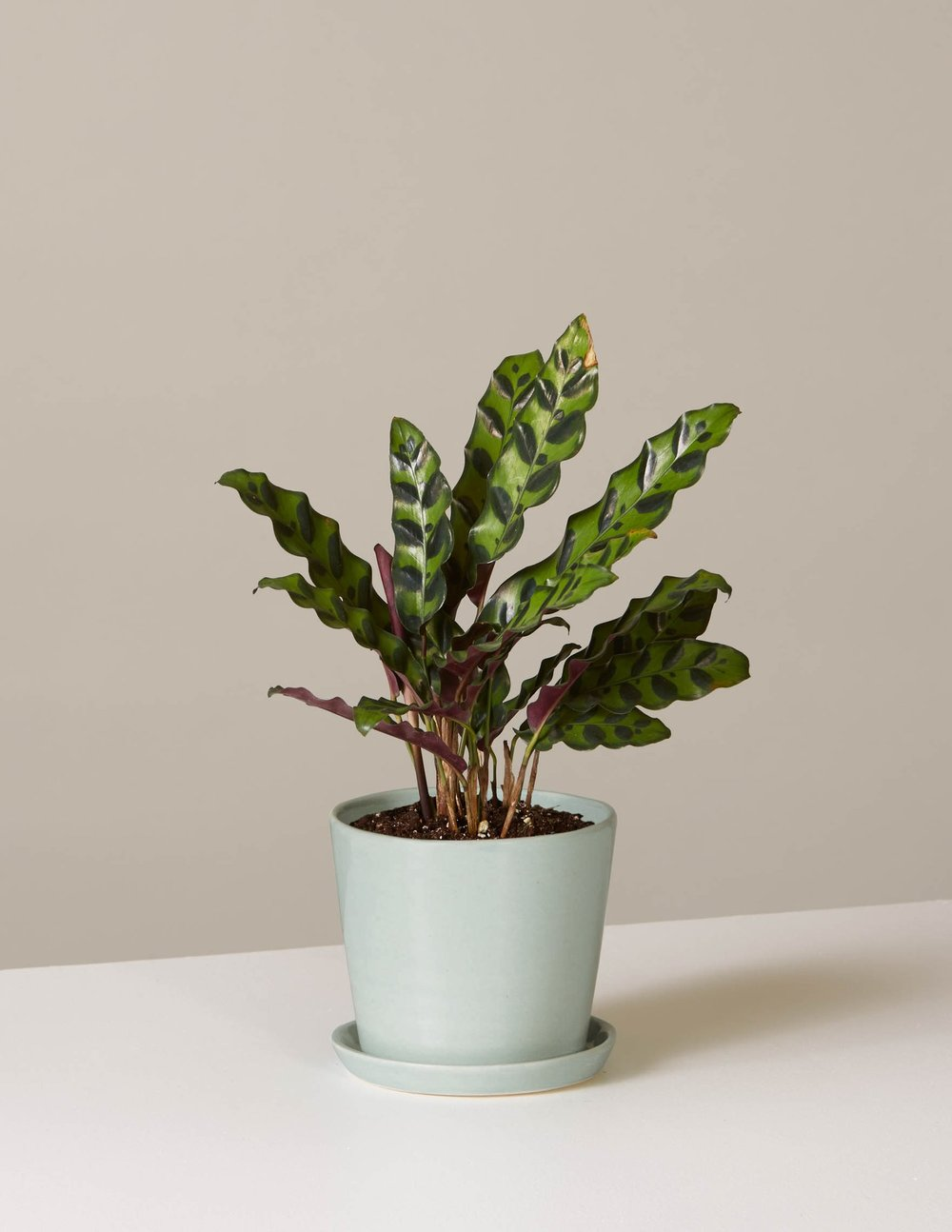 Calathea  Rattlesnake In August Planter, $44.50, The Sill
