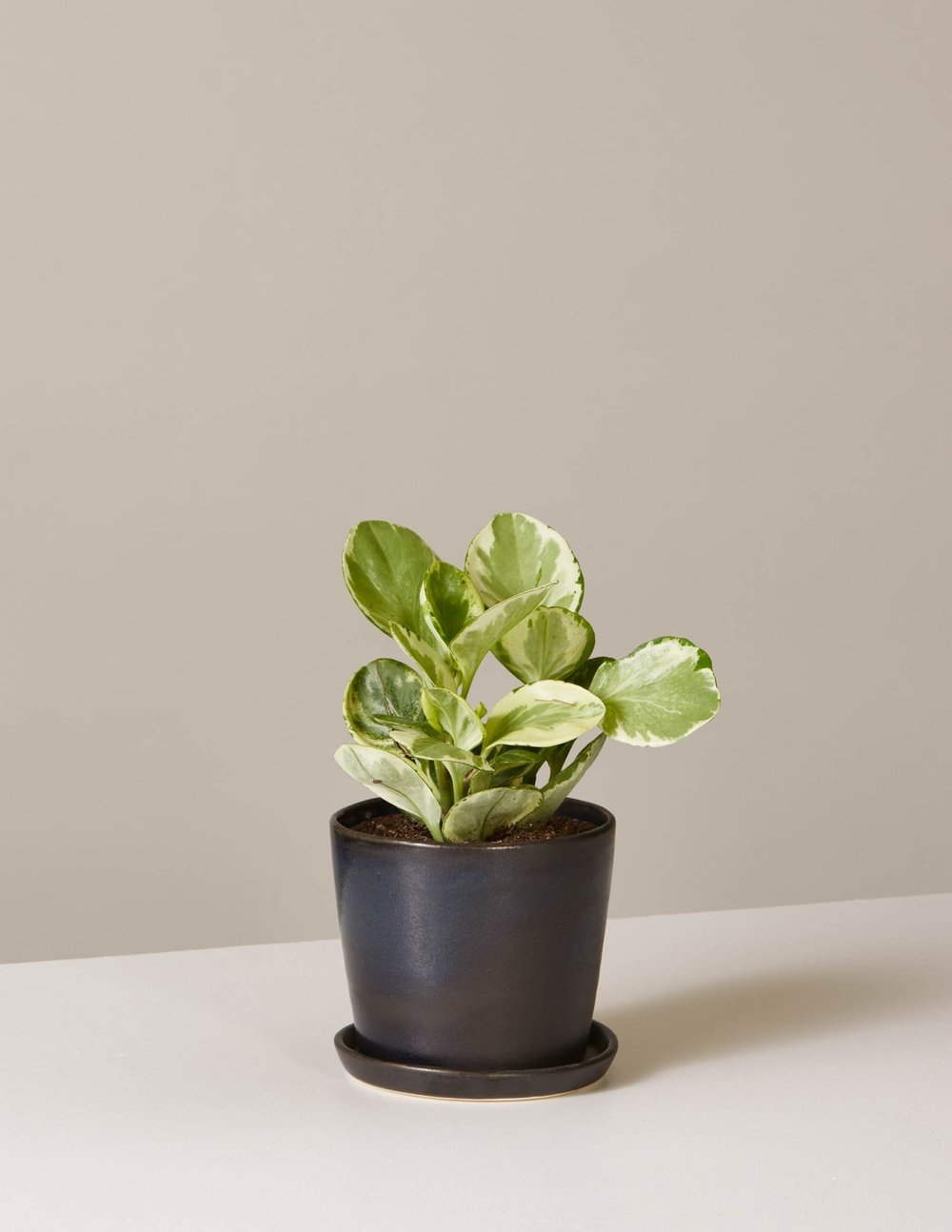 Peperomia  Marble  In August Planter, $40.50, The Sill