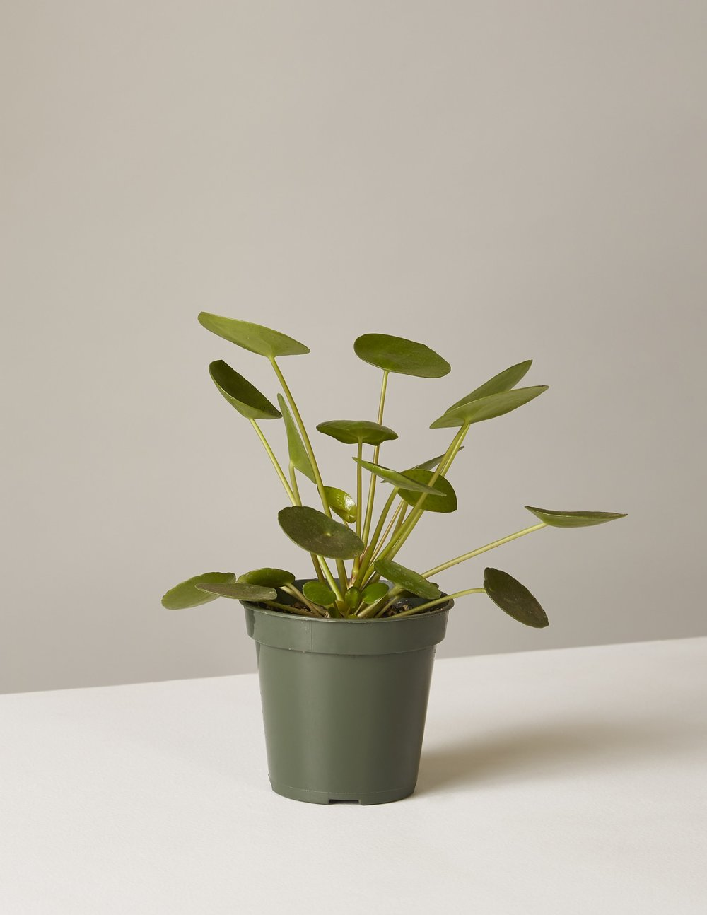 Pilea Peperomioides, $13, The Sill