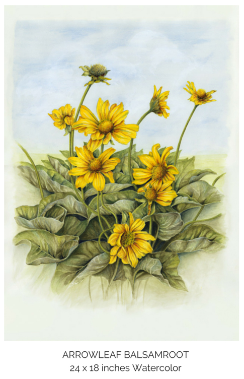 FINAL balsamroot.jpg