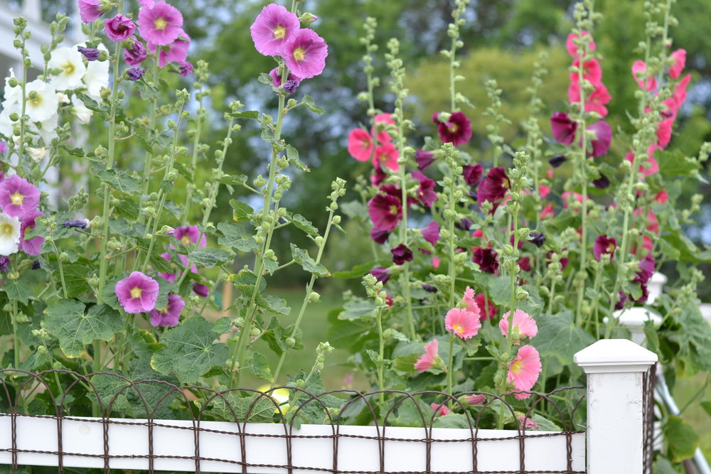 My hollyhocks, circa June 6-7, 2017.