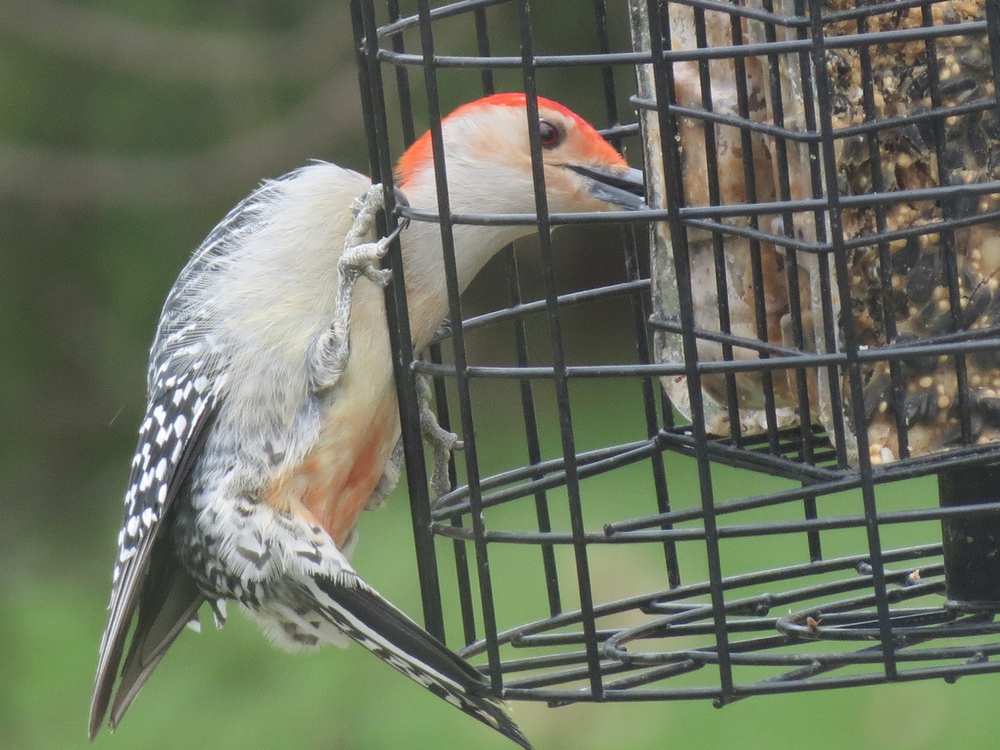 suet-feeder-london-ontario-1.jpg