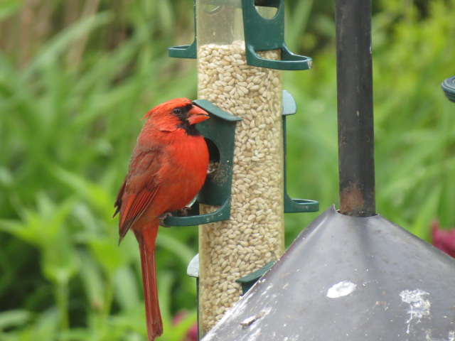 Northern Cardinal    feeding from a tube feeder filled with Safflower Seed!!