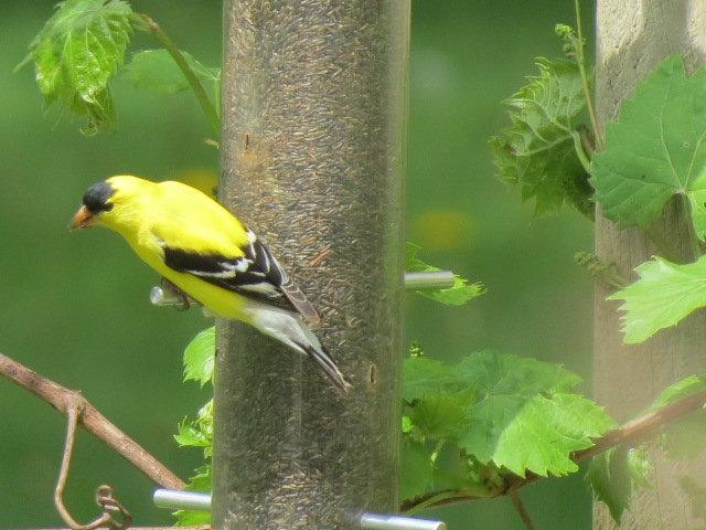 Male Goldfinch getting his fill of nyjer seed from a Droll Yankees feeder!