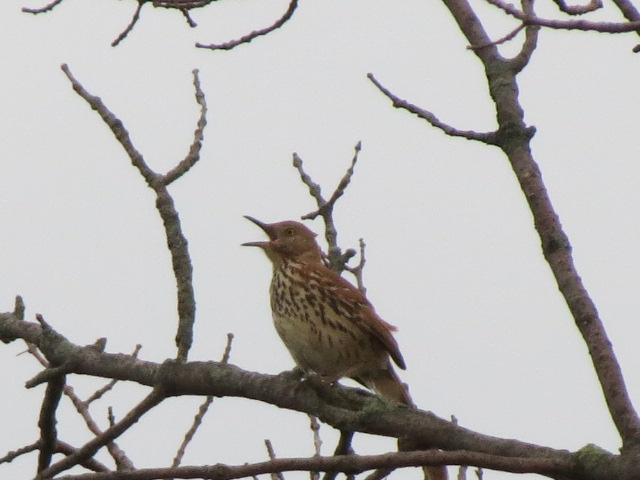 Brown Thrasher  high in the tree tops!