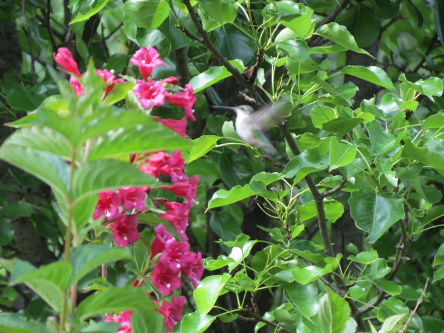 Hummingbird in the Bristol Ruby Weigela!