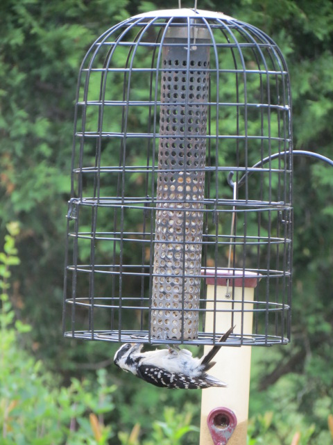 Full view of the cage with Hairy Woodpecker