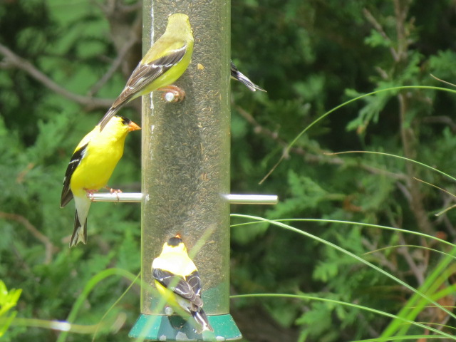 Goldfinches love the Nyjer in the Drolls Y  ankees Feeder