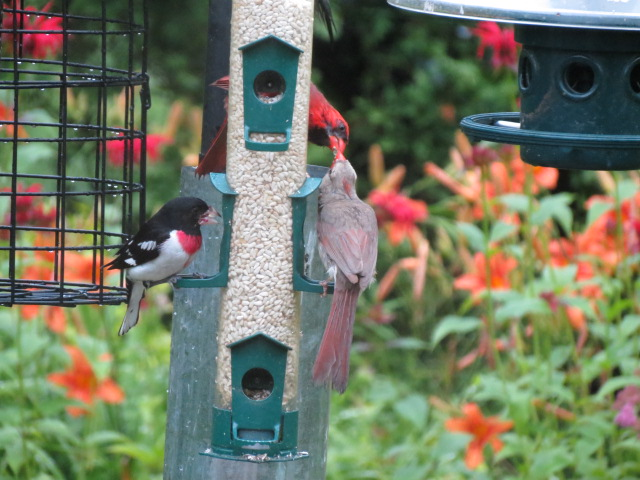 More Cardinal love on the Safflower Feeder