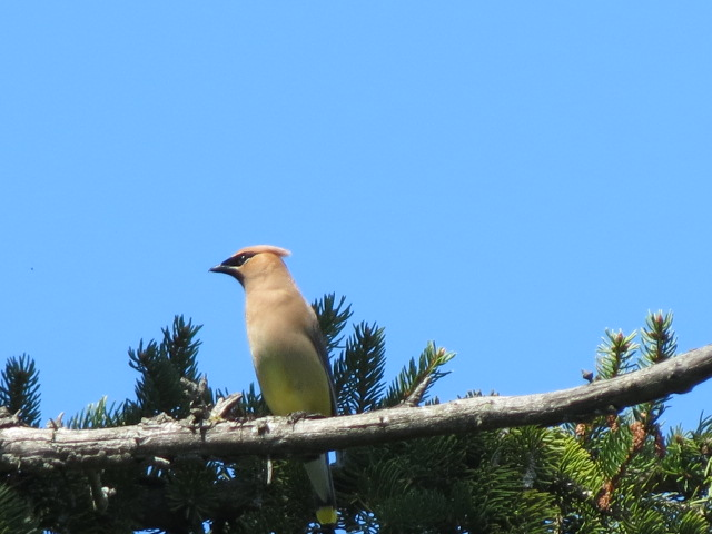 Cedar Waxwing posing just for us....in the old pine tree!