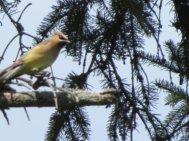 A second shot of the Cedar Waxwing in the pine tree...they really are stunning birds!!