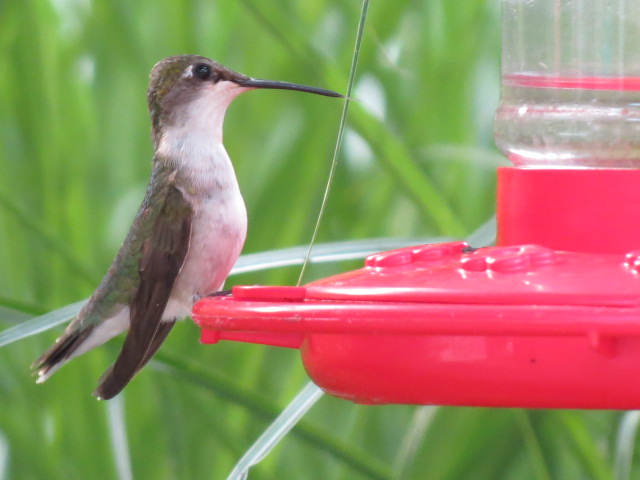 Recent shot of Ruby-throated Hummingbird