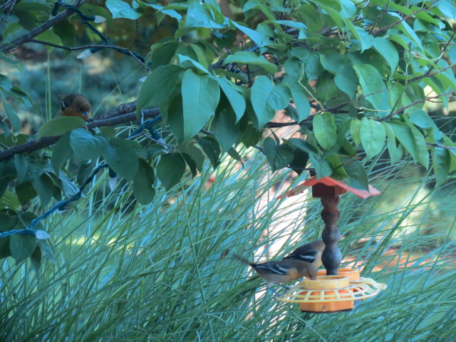 Captured just moments ago - Two Orioles on the jelly feeder...One waiting on the branch!