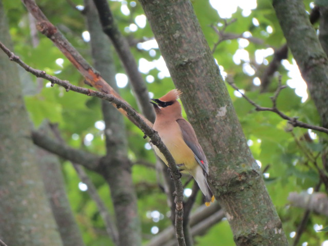 One of the gorgeous Cedar Waxwings observed this morning!