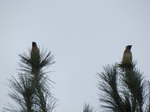 Two Cedar Waxwings in the top of the White Pine