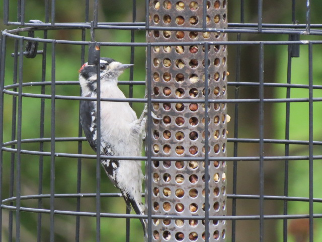 Downy Woodpecker lovin' the walnuts!!