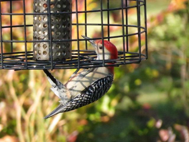 Red-bellied Woodpecker lovin' the peanuts!