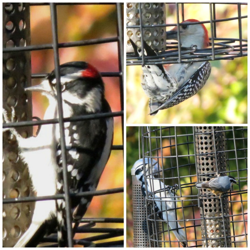 We were excited to welcome 3 Woodpecker species in one day - Downy, Hairy, Red-bellied!