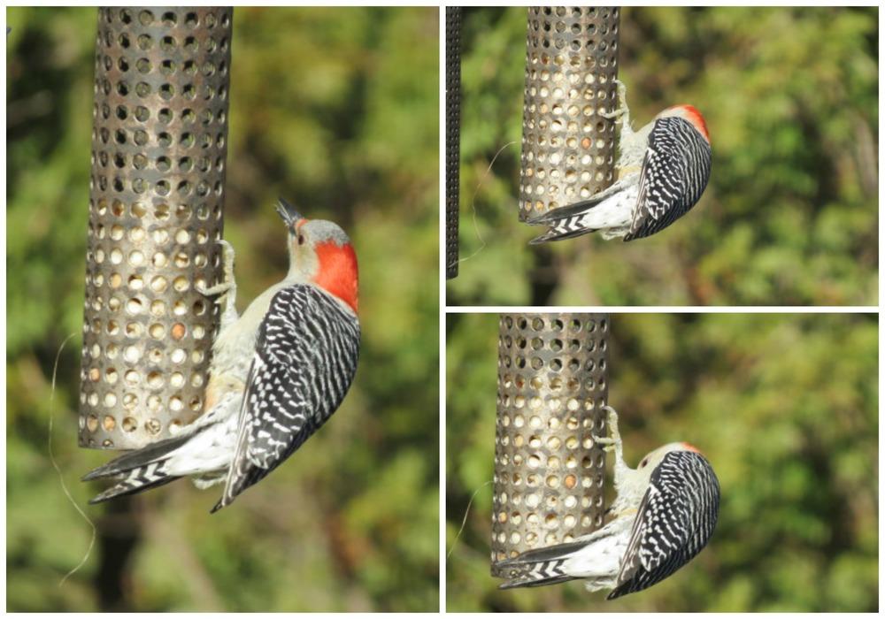 Beautiful F Red-bellied Woodpecker!!