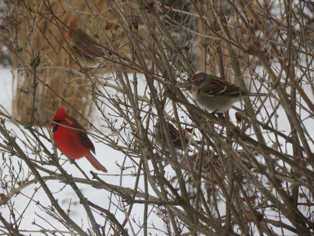Male & Female Cardinal sharing the Weigela with American Tree Sparrows Tuesday, Jan. 12/16