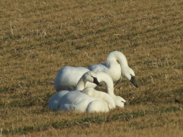 Beautiful Tundra Swans earlier this week!