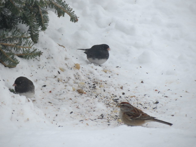 Juncos & American Tree Sparrow on the ground beside our Christmas tree