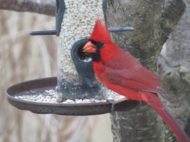 Male Cardinal lovin' the Safflower Seed!