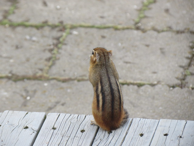 Chipmunk spotted today!