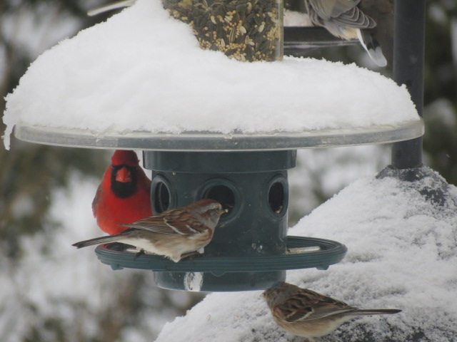 "The pretty birds came out to play following one of the recent April snow ""events""!"