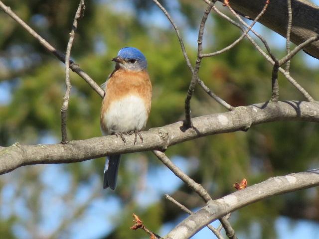 Beautiful Eastern Bluebird!!