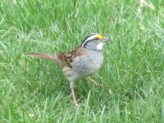 White-throated Sparrow arrived Sunday April 24th!!