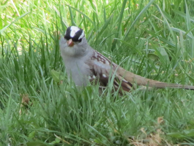 White-crowned Sparrows arrived today - Monday April 25!!
