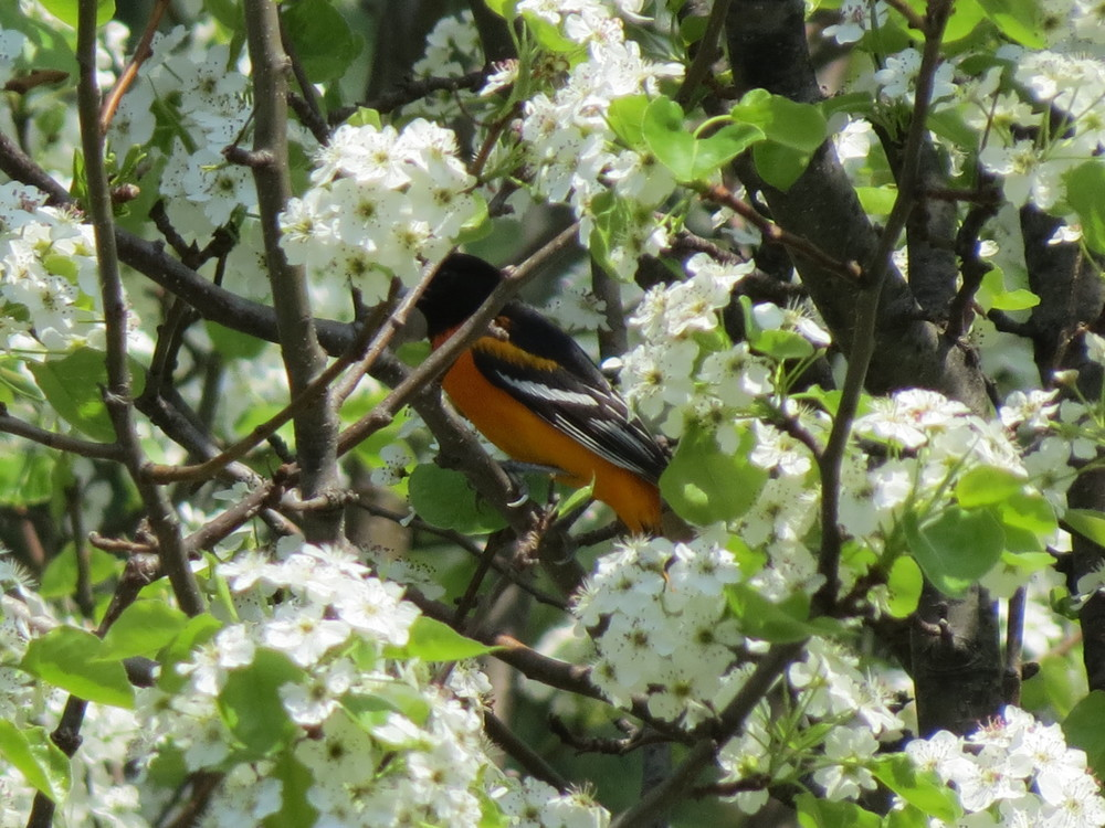 Baltimore Oriole in the ornamental Bradford Pear tree 2015