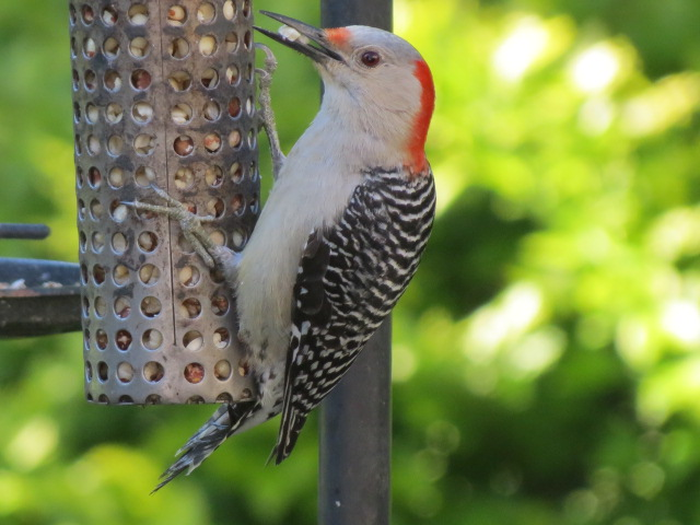 Female Red-bellied Woodpecker has her treat!!
