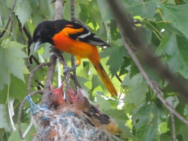 Male Baltimore Oriole feeds & cares for thefamily!