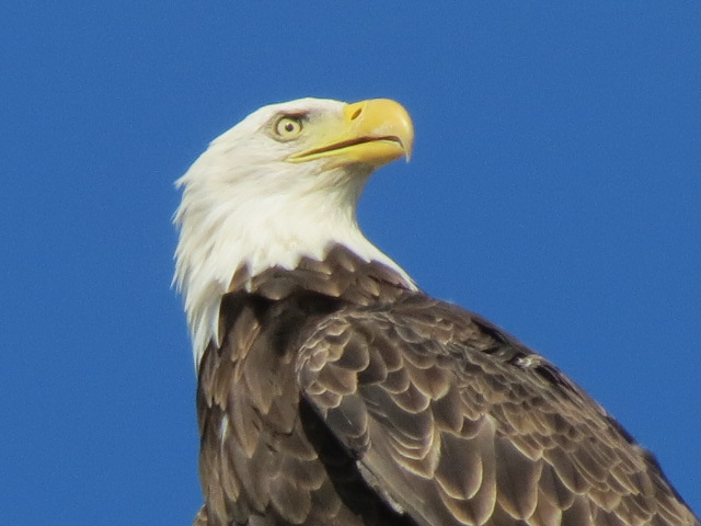 Rewarded this morning....the Crows told us something was up & sure enough it was!! A Bald Eagle was perched tree top looking over our yard!!