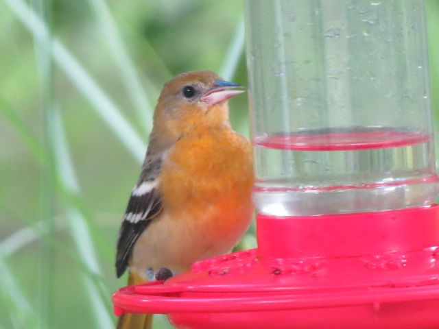 Baltimore Oriole enjoying the nectar at our feeder