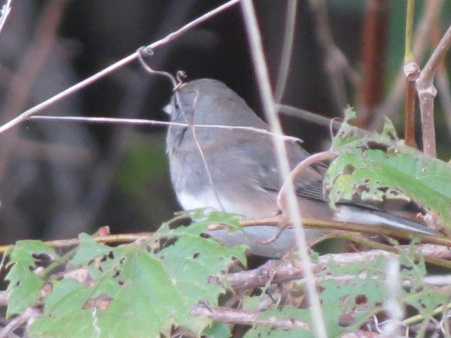 Dark-eyed Junco at Fanshawe Pioneer Village