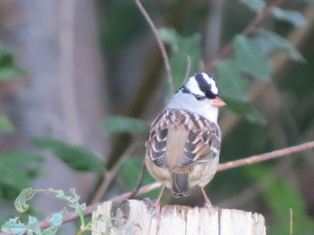 White-crowned Sparrow....what a cutie!!