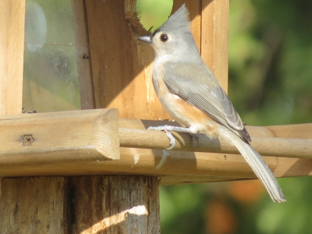 Lovely Tufted Titmouse!
