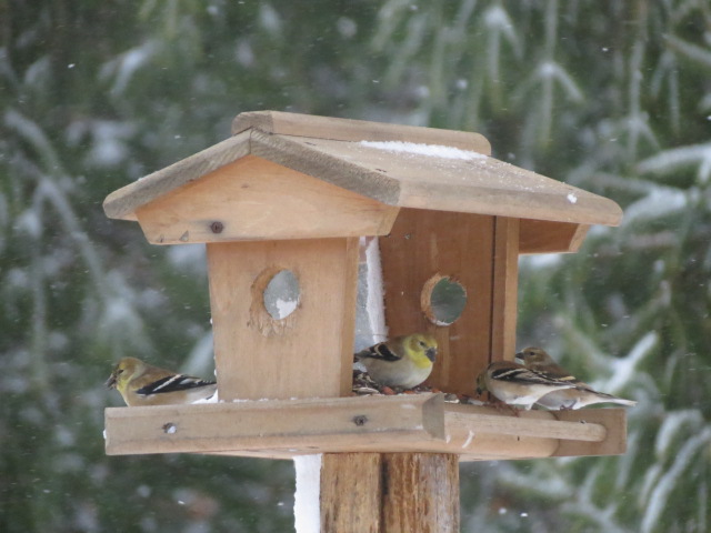 American Goldfinches on a snowy start to this Sunday!
