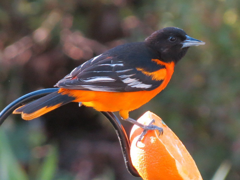 Gorgeous male Baltimore Oriole