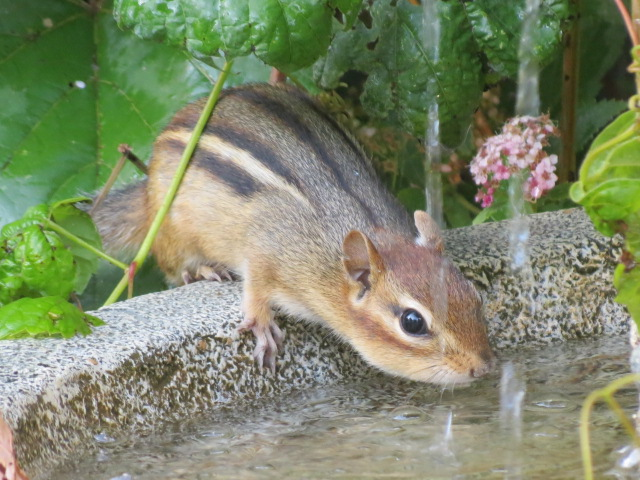 Chipmunk visiting our fountain.