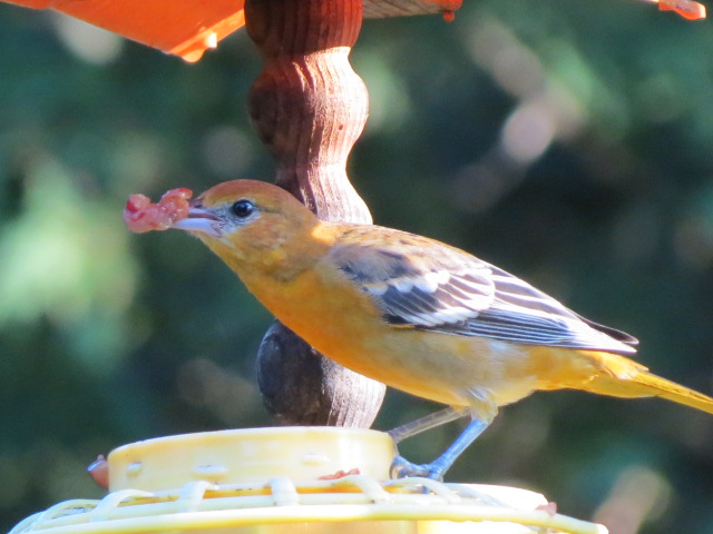 Baltimore Oriole with a serving of grapes!