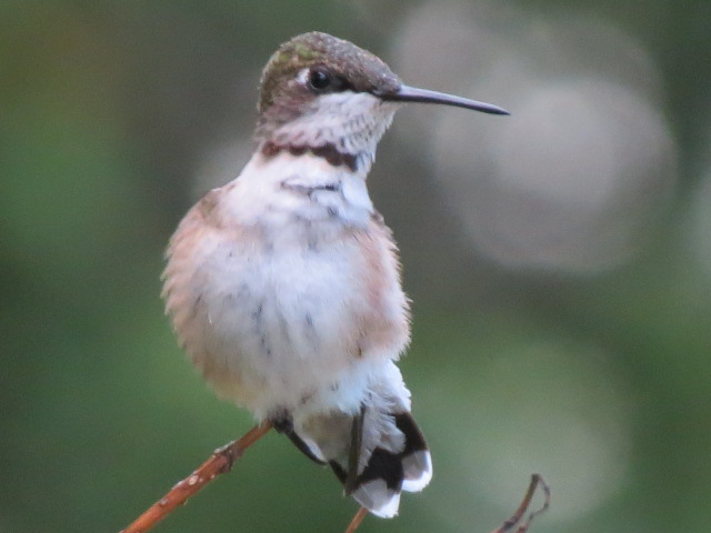 Ruby-throated Hummingbird September 6 2017