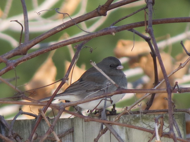 Dark-eyed Junco January 2017