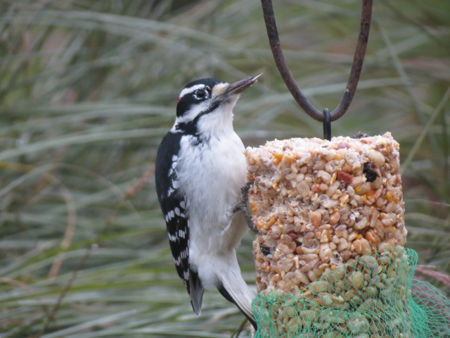 Hairy Woodpecker lovin' the Peanut Log in our garden!