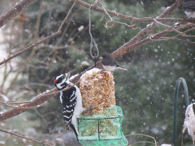 Hairy Woodpecker & Dark-eyed Junco enjoying the peanut log in the snow today!