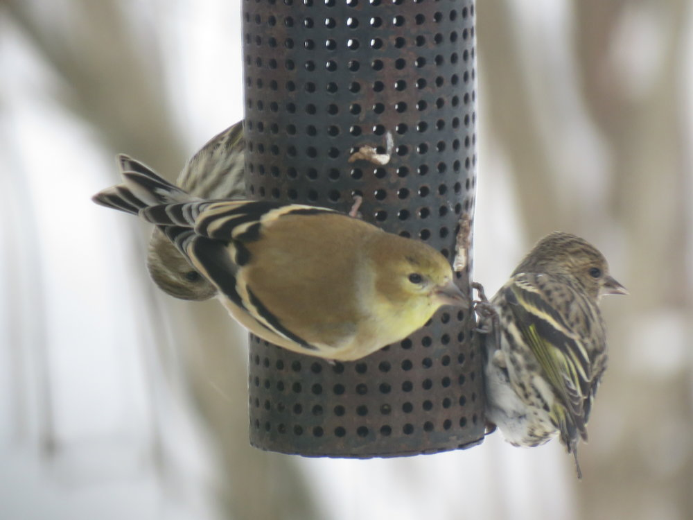 Notice the striping along with the yellow in the Pine Siskin