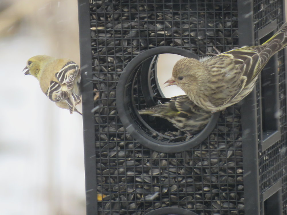 American Goldfinch and Pine Siskins enjoying the Black Oil Sunflower Seed